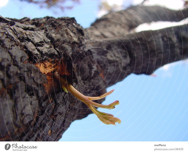 Tree Blaze Success Beginning Shoot Breach Plantlet Renewal