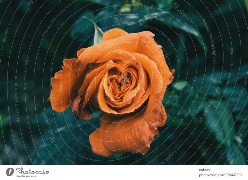 Macro of an open orange rose centered on the picture rosaceae ornamental gardens cut flowers commercial perfume edible vitamin blossom frontal petals pattern