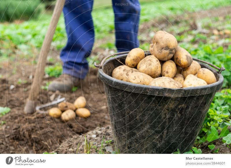 Container with freshly harvested potatoes. Agricultural concept. Agriculture man collect take out basket rural land farm tuber food ingredients people organic