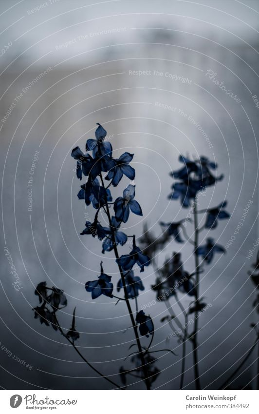 City plant. Plant Leaf Blossom Town Old town House (Residential Structure) Facade Blossoming Blue Gray Sadness Gloomy Window Colour photo Copy Space top Blur