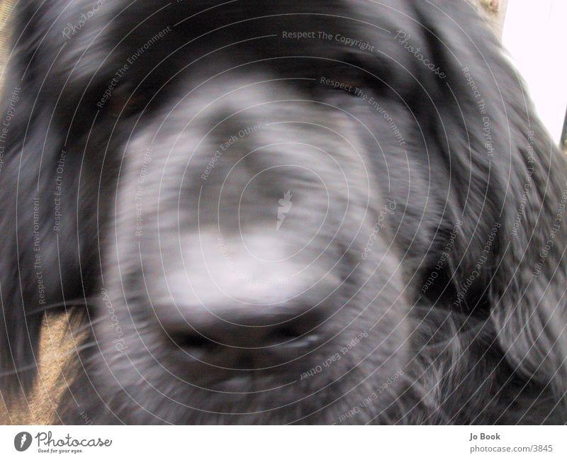 Newfoundlander Dog