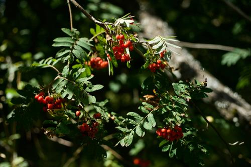 Fruits of mountain ash on a tree and with sunlight Summer Mountain ash Tree Summer fruit Nature Exterior shot Plant Colour photo Green Deserted Garden Sorbus