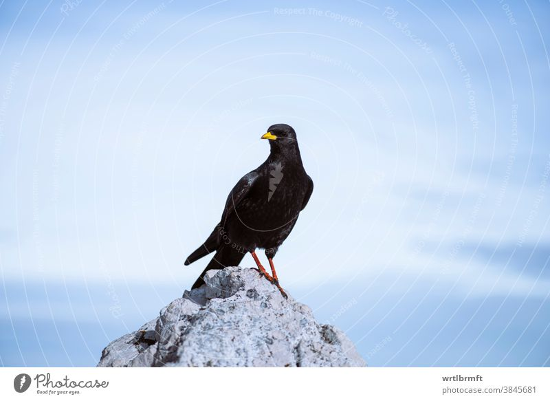 High flying Bird on a mountain summit alpine alpine chough alps animal animals background beak beautiful bird bird watching birds birdwatching black blackbird