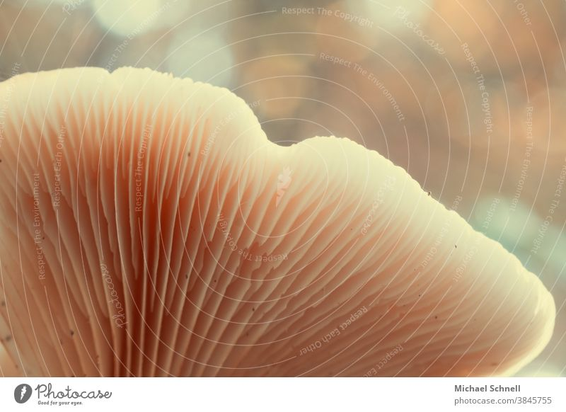 Mushroom lamellae Nature Colour photo Exterior shot Autumn Forest Shallow depth of field Disk slats mushroom slats from below seen from below from bottom to top