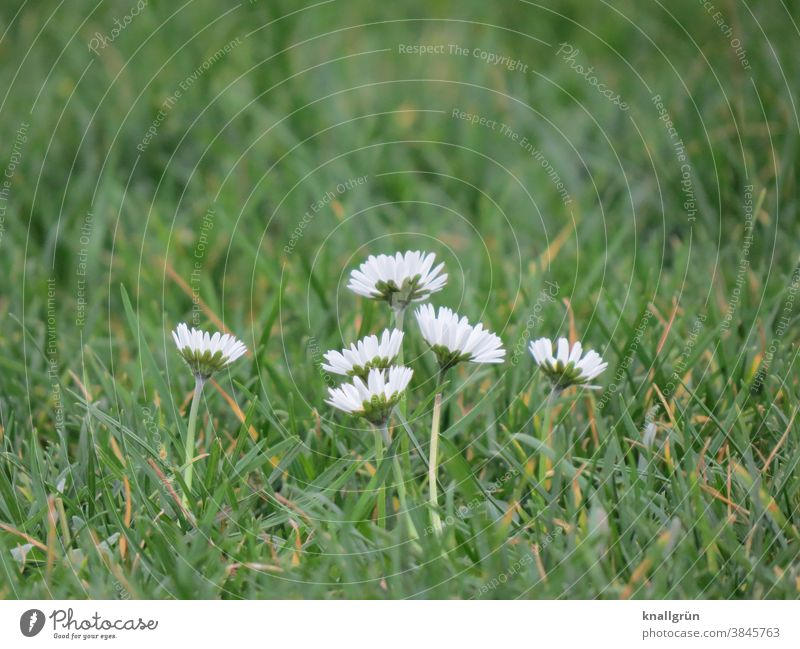Six daisies in the meadow Daisy Meadow Nature Bellis perennis Flower Spring Green White Blossom Blossoming Plant Grass Colour photo Close-up Exterior shot