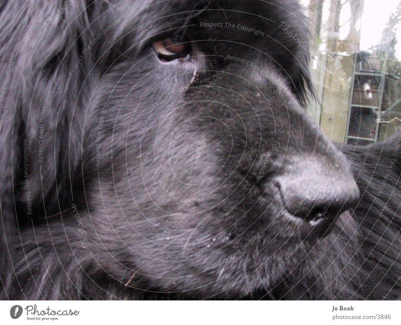 Newfoundland2 Dog Newfoundlander