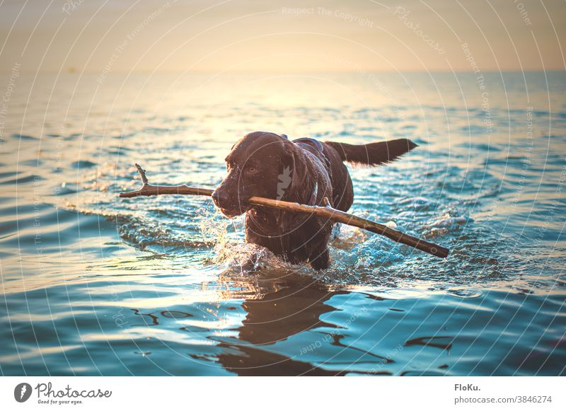Dog with stick in the sea Animal Larbardor tock Ocean North Sea Water Beach coast Exterior shot Colour photo Vacation & Travel Sky Nature Waves Freedom Day