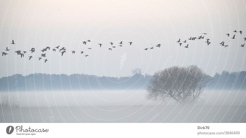 Panorama - foggy landscape with bushes and a train of geese Goose Migratory bird Flock of birds Bird Flying Sky Exterior shot Wild animal Nature Animal