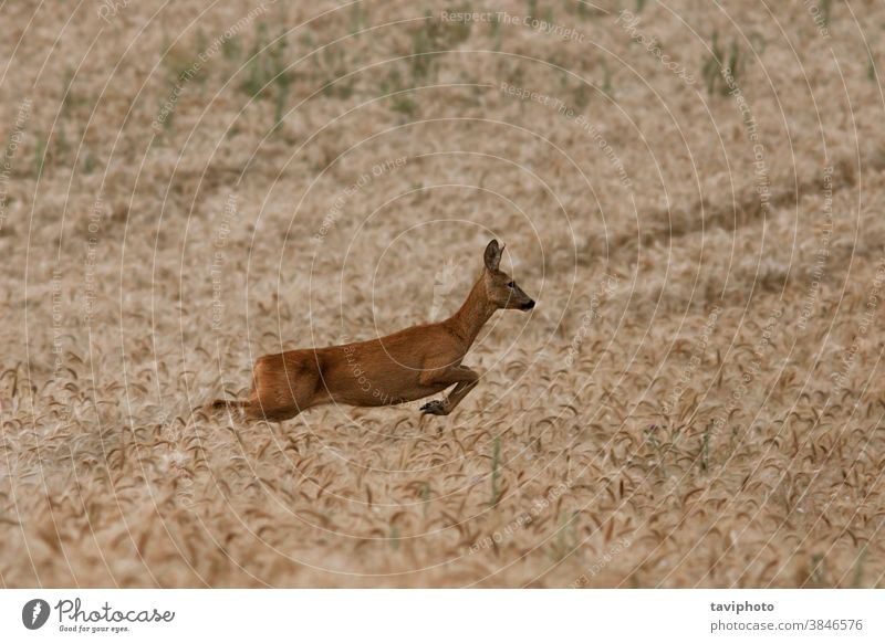female roe deer running in wheat field animal mammal beautiful capreolus fauna wilderness countryside meadow jump natural background cute agriculture one