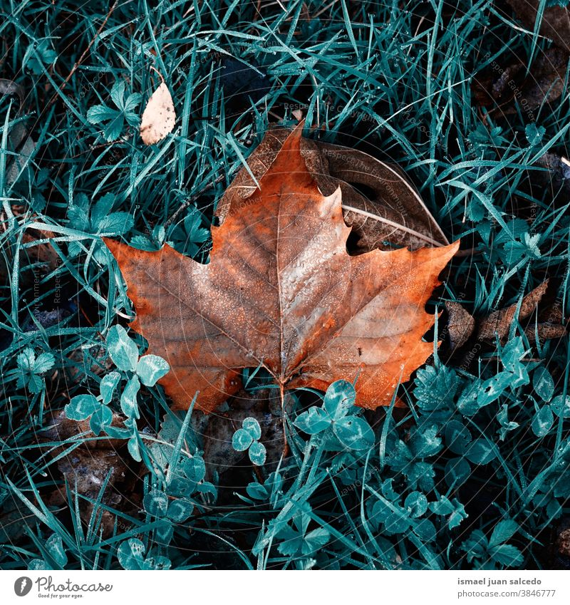 maple brown leaf on the green grass in autumn season dry ground nature natural foliage textured outdoors background fall seasonal orange Seasons Natural