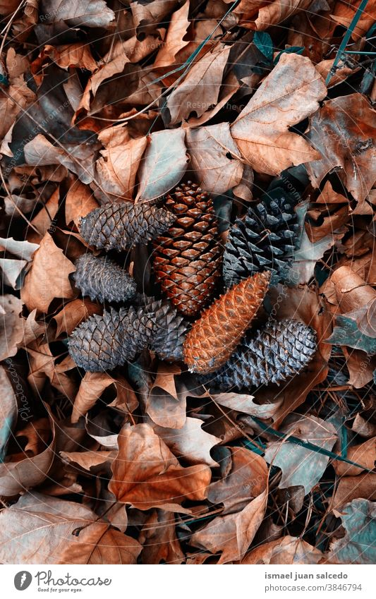 brown leaves and pine cones on the ground in autumn season leaf pinecone dry nature natural textured outdoors background fall winter christmas decoration