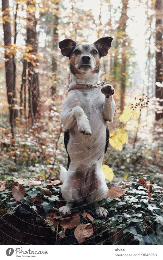 Jack Russell is doing a manly thing in the woods Jack Russell terrier Dog Terrier Animal Pet Small Cute Purebred Brown Exterior shot Obedient intelligent