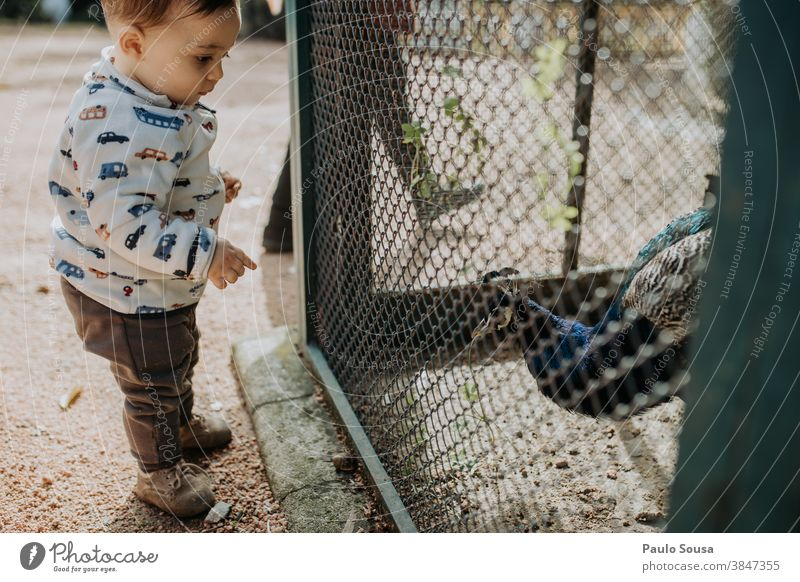 Toddler looking at peacock 0-09 years Learn and Know authentic autumn casual caucasian child color curiosity day education enjoyment environment explore family
