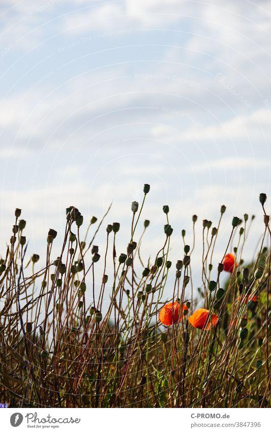 Poppy seed capsules stretch towards the sky Blossom Capsule Plant Sky