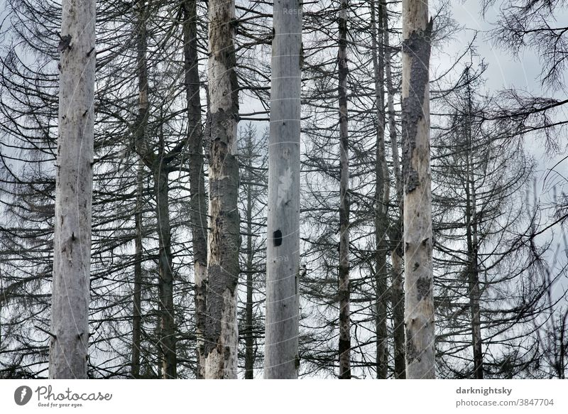 Dead forest of dead spruces with fallen bark Bird Aves trees bush pinus Stone pine Sky Summer Spring Death of a tree Virgin forest cataclysm Climate change Life