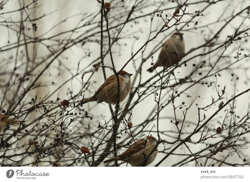 A flock of brown fluffy sparrows sits in a bush among bare branches and dry black berries against a cloudy sky on an autumn day. Passer montanus or Eurasian Tree Sparrow.