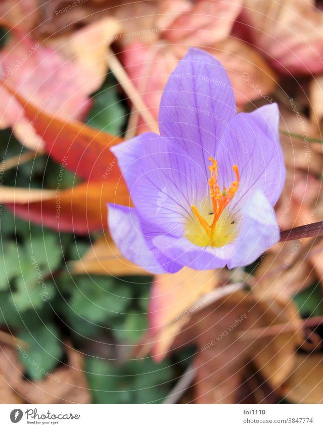 autumn crocus Autumn Crocus Saffron Autumnal Violet November Crocus sativus autumn bloomer Saffron crocus Bulb Autumn leaves Stamp Blossom petals