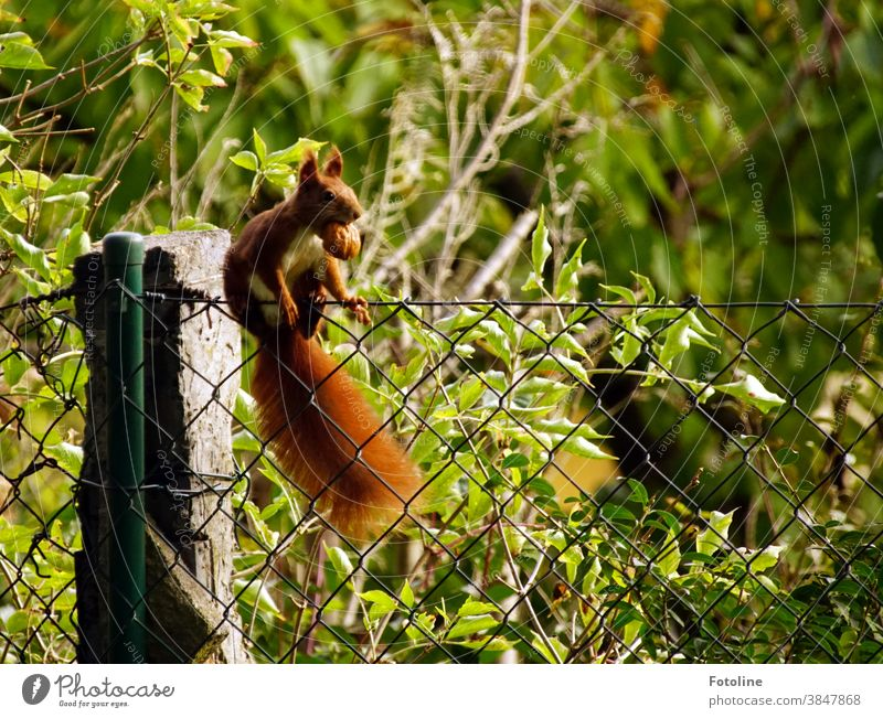 Walking a tightrope - or a small red squirrel balancing on a wire fence with a thick walnut in its mouth. Squirrel Animal Nature Cute Colour photo Wild animal 1