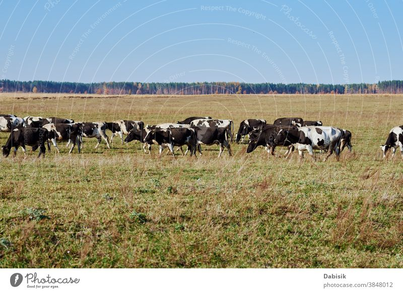 Herd of cows grazing at green field in a summer day herd calf holstein team friesian heffer hoof milk farm grass landscape meadow black white countryside eating