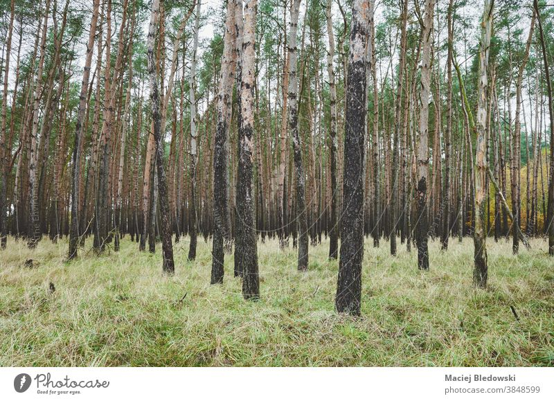Picture of autumnal forest with birch trees. nature season grass wilderness fall green environment