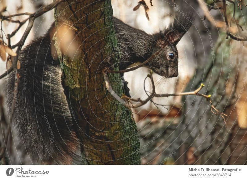 Squirrels in the tree sciurus vulgaris Animal face Head Eyes Muzzle Nose Ear Pelt Paw Claw Tails Wild animal Nature Rodent Observe Curiosity Cute Looking