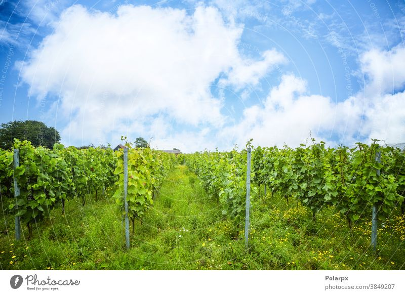 Grapewine plantation in a wineyard rows cultivation idyllic vineyards beautiful france valley industry village farmer scene europe spring country outdoor season