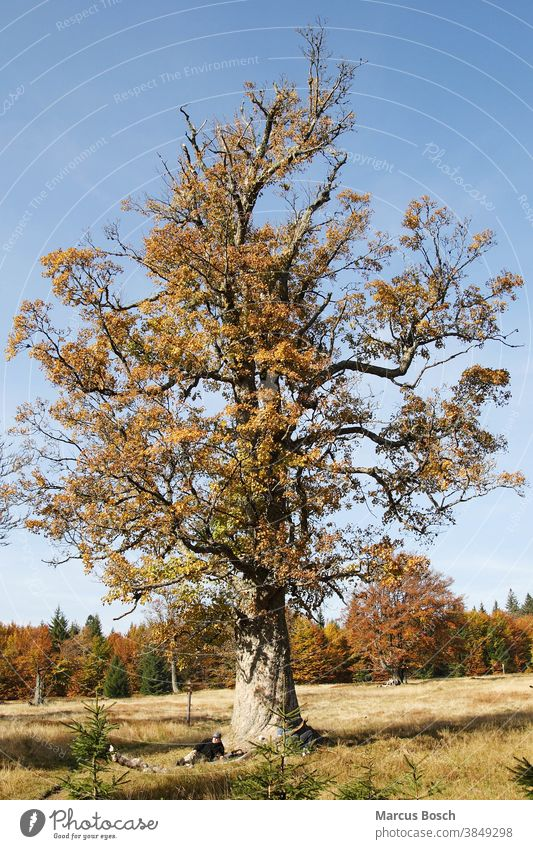 Alter Ahorn, old maple Baum Berg-Ahorn Bergahorn Gras Herbst Himmel Laubbaeume alt autumn autumn foliage blau blue brightly broad-leaved trees colourfully drily