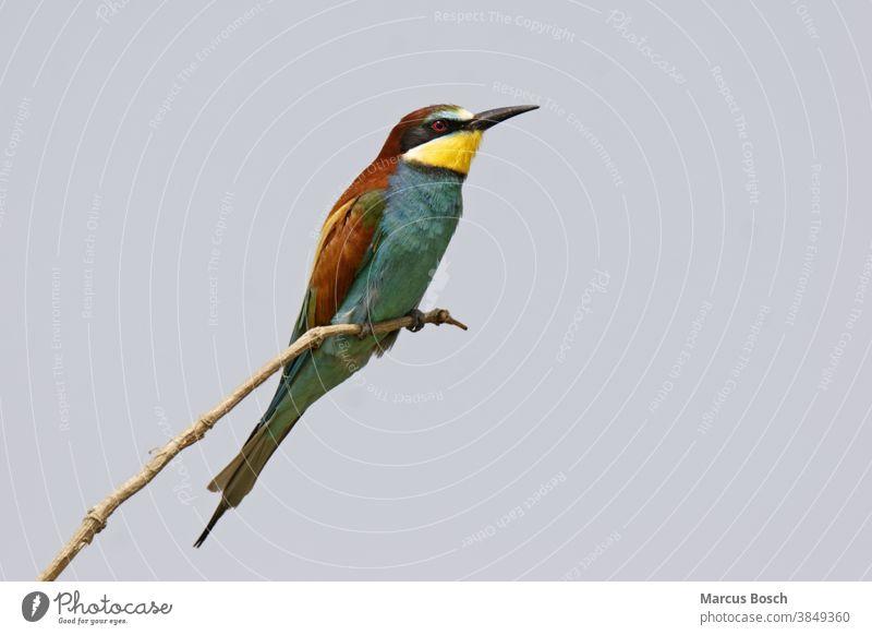 Bienenfresser, Merops apiaster, European bee-eater Alcediniformes Ausschau Baum Bee eater European Bee-eater Himmel Meropidae Ornithologie Singvogel Singvoegel