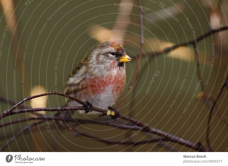 Birkenzeisig, Carduelis flammea, syn. Acanthis flammea, common redpoll Brutkleid Common Common Redpoll Common talking polling Leinfink Maennchen male