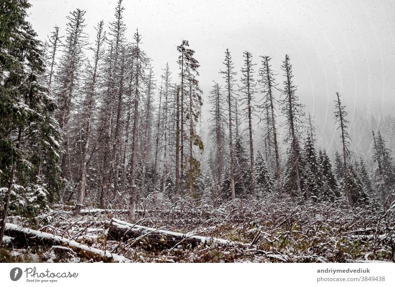 Landscape snow trees and felled trees forest in winter. mountains in the background. Morske Oko, Poland nature scene landscape white happy new rural beauty