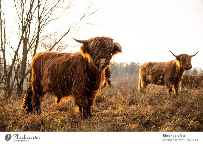 Scottish highland cattle against the light of the evening sun Cow cows Calf Pelt Brown Meadow Willow tree Grass Nature grasses Feed To feed Mammal Animal
