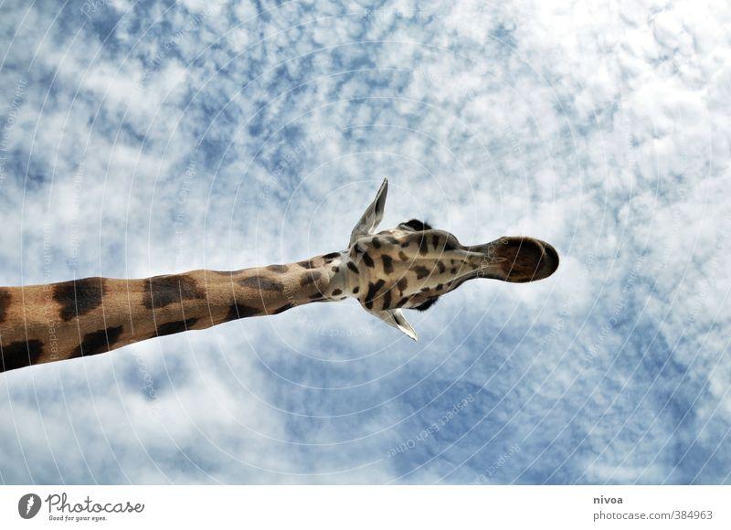 hansguckindieluft Animal Sky Clouds Weather Beautiful weather Zoo Giraffe 1 Esthetic Athletic Exotic Friendliness Gigantic Large Long Brown Love of animals