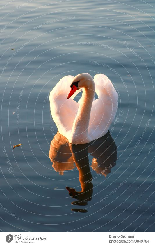 Close-up of a beautiful mute swan on a lake. Sunlight flowing through the wings of a water bird. Waves and wake around the animal. wildlife swim tranquil