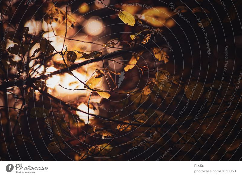 leaves and twigs in golden heart light naturally Day Autumnal Autumnal colours Twigs and branches Exterior shot Colour photo Plant Environment Nature Treetop