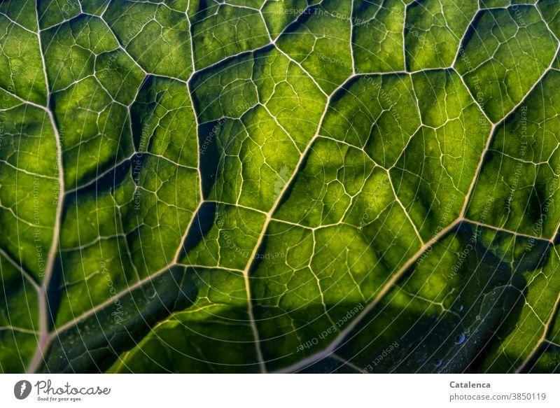 Close-up of a cabbage leaf against the light Nature flora Plant Cabbage Leaf Side ribs Vegetable Green Back-light Garden Vegetarian diet Fresh Healthy Eating