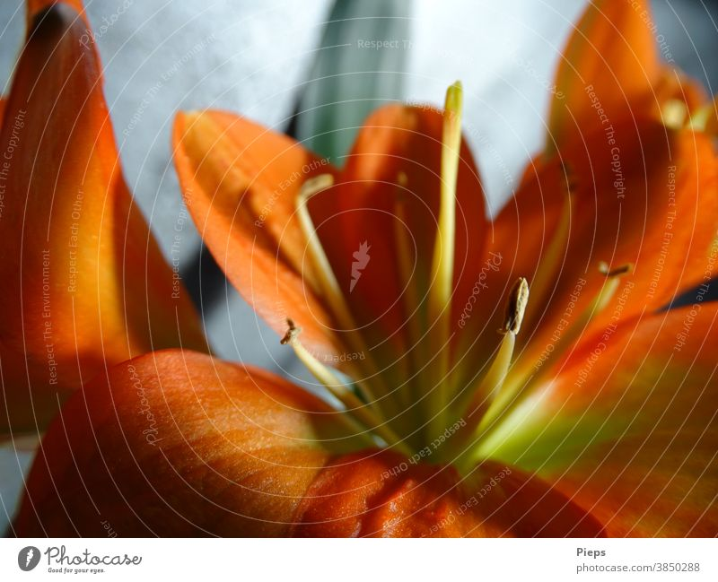 Flower of the Clivie (strap leaf) Blossom Pistil Blossom leave Orange Light and shadow Houseplant Floristry Interior shot Macro (Extreme close-up)