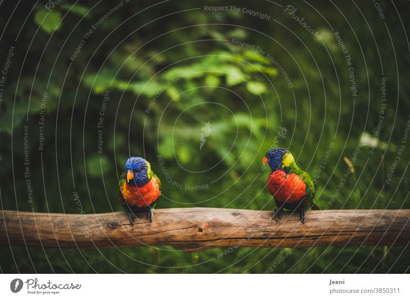 Colourful Lories - small parrots - sitting side by side on a branch lori variegated Bird Loriini Parrots birds Feather feathers Blue Orange Green Yellow Red