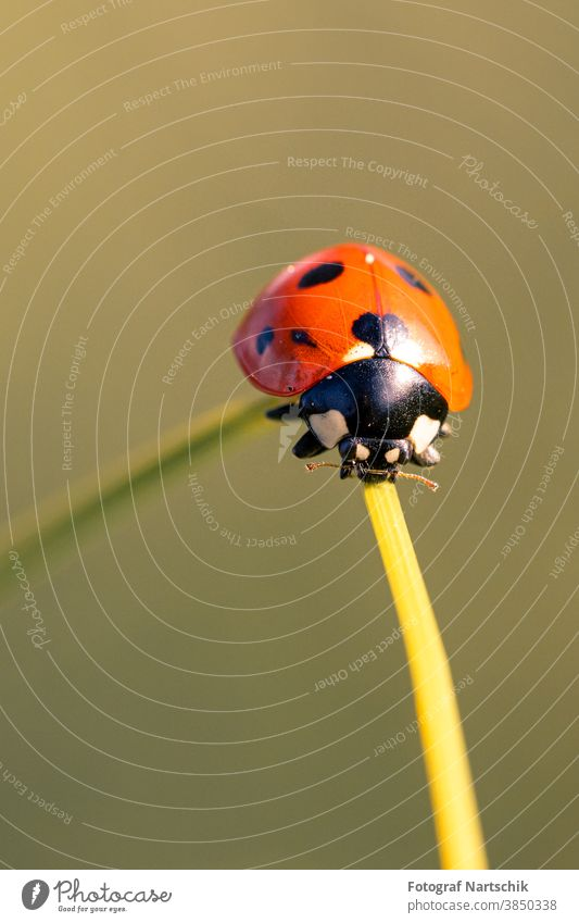 a ladybird on a blade of grass in the morning sunrise with green background Ladybird Green Foliage plant Seven-spot ladybird Insect Insect repellent