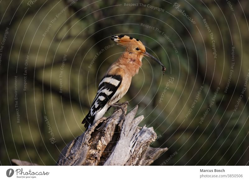 Hoopoe, Upupa epops, hoopoe Ferder hood woodpile Morning nature conservation Sun Animal animals Environment Environmental protection birds Bird Migratory bird
