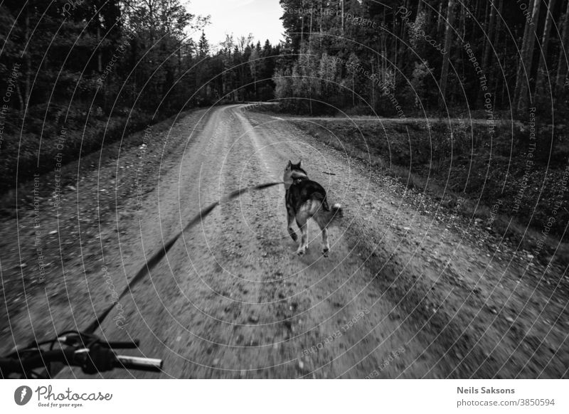 Siberian husky dog pulls bicycle on lonely forest gravel road Animal bike canine car championship chariot competition competitive cross crossing cycling dirt