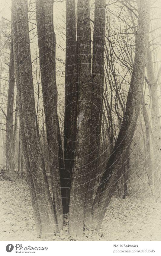 huge black alder cluster found in Latvian forest Alder autumn background beautiful biology branch branches curve curved dead depression ecology environment
