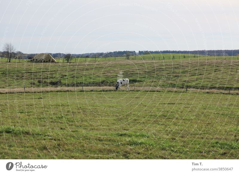 a cow in the meadow poland Poland Cow Meadow Sky Animal Grass Willow tree Green Agriculture Cattle Nature Farm animal Landscape Exterior shot Environment Field