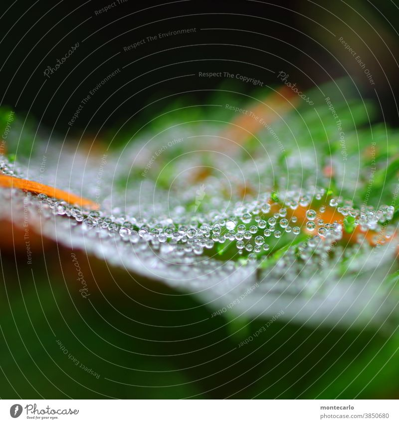 700 | Pearls in the morning dew Network Delicate splendour tautropepfe wafer-thin Pearl necklace dew drops Exterior shot Spider's web Round Near Bushes Nature