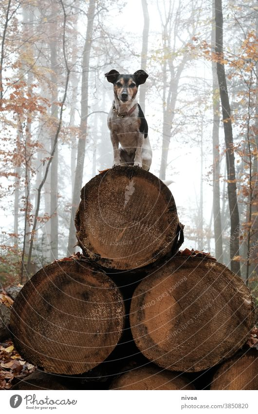 Jack Russel Terrier sits on a pyramid of tree trunks Jack Russell terrier jack russell Dog Sit Forest Autumn Neckband Pet Animal Brown Cute Delightful Purebred
