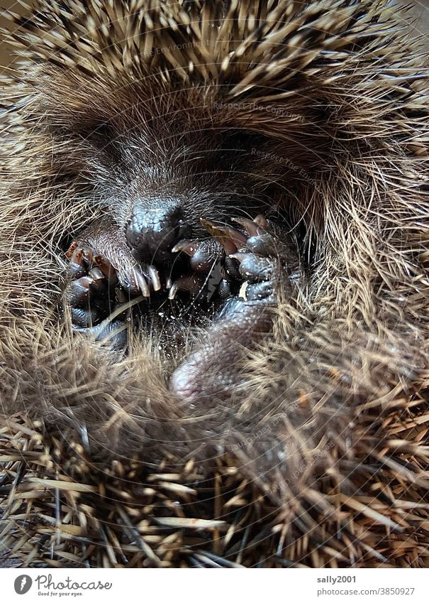 little hedgehog curled up in a ball just before hibernation... Hedgehog Mammal Small Thorn Thorny Cute roll up Convoluted Snout Animal Brown Autumn Close-up