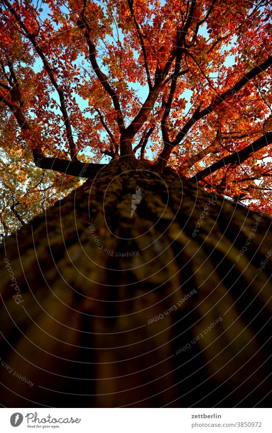 Tree from the frog's eye view Worm's-eye view trunk Tree trunk bark structure texture Branch Twig Leaf Autumn Autumnal colours Autumn leaves Foliage colouring