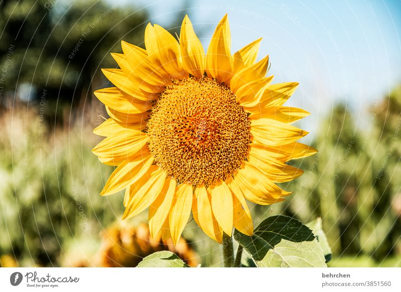 Let the sun shine in your heart Blossoming Yellow Contrast Colour photo Plant Exterior shot Summer Fragrance fragrant Spring Nature beautifully blossom Flower