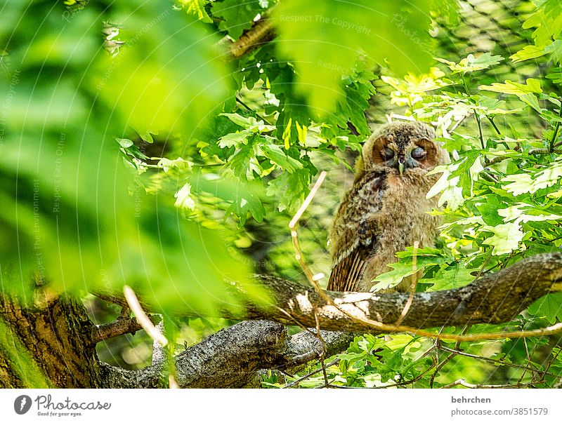so tired Forest owl Eagle owl Bird leaves Tree Sleep Nature feathers Branch Twigs and branches trunk Tree trunk Animal Wilderness Strix Wild animal