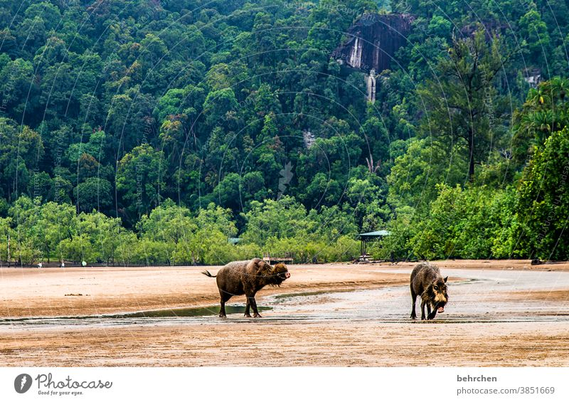 pigs' EIRY coast Sarawak rainforest Beach Landscape Gorgeous Water Ocean ocean beautifully Environmental protection Asia Vacation & Travel Far-off places