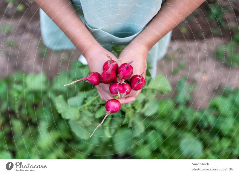 Young woman in the garden holds radish. green crop fresh bunch growth apron plant healthy vitamin food picking leaf raw nature harvest hand organic ripe farm